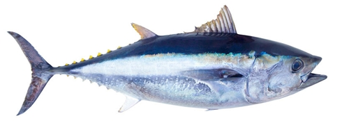 All about albacore for What does a tuna fish look like